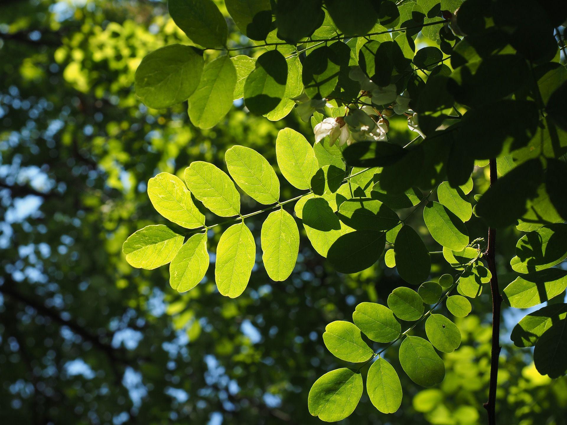 """Als """"hochgradig riskante, wenn nicht sogar spekulative Kapitalanlagen"""" bezeichneten Fachanwälte die Lignum-Edelholzinvestments in Bulgarien. Vielen der 5.000 geschädigten Anleger war das nicht bewusst. Im Bild Blätter des Edelholzbaumes Robinie. / Foto: Pixabay"""