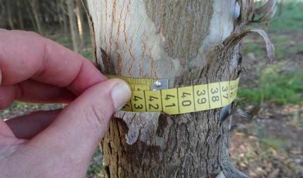 Vermessung eines Baumes in Paraguay: ECOreporter.de hat einen Forstwissenschaftler nach Lateinamerika geschickt, um ein Holzinvestment von Miller Forest zu prüfen. / Foto: Kallendrusch