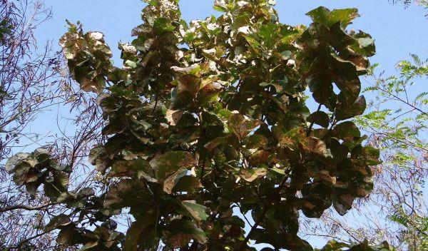Ein Teakbaum: Auch mit Teakholz aus Brasilien machte Lignum Geschäfte. / Foto: Pixabay/CC0-Lizenz