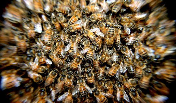 Crowdfunding setzt auf das Prinzip Schwarmintelligenz, wie sie zum Beispiel bei Bienenvölkern zu beobachten ist. Aber: Crowdinvestment ist nicht so simpel wie mancher vermutet. Wir erläutern, worauf Anleger bei der Schwarmfinanzierung achten müssen. / Foto: Pixabay
